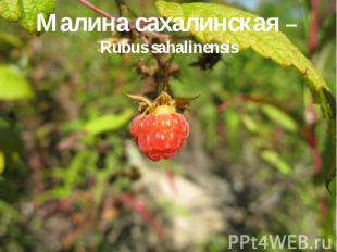 Малина сахалинская – Rubus sahalinensis