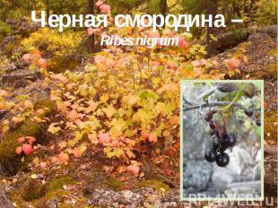 Черная смородина – Ribes nigrum