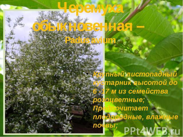 Черемуха обыкновенная – Padus avium Крупный листопадный кустарник высотой до 6 -17 м из семейства розоцветные; Предпочитает плодородные, влажные почвы;