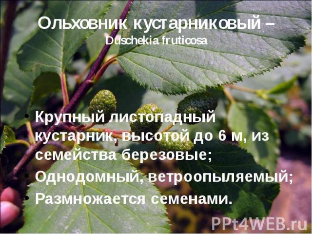 Ольховник кустарниковый – Duschekia fruticosa Крупный листопадный кустарник, высотой до 6 м, из семейства березовые; Однодомный, ветроопыляемый; Размножается семенами.