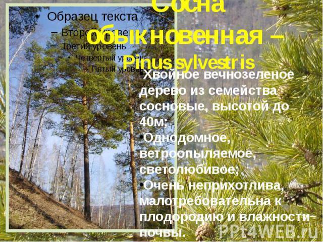 Сосна обыкновенная – Pinus sylvestris Хвойное вечнозеленое дерево из семейства сосновые, высотой до 40м; Однодомное, ветроопыляемое, светолюбивое; Очень неприхотлива, малотребовательна к плодородию и влажности почвы.