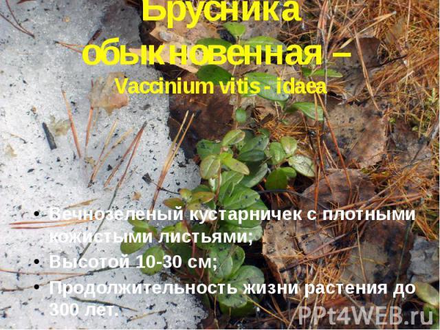 Брусника обыкновенная – Vaccinium vitis - idaea Вечнозеленый кустарничек с плотными кожистыми листьями; Высотой 10-30 см; Продолжительность жизни растения до 300 лет.