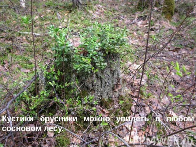 Кустики брусники можно увидеть в любом сосновом лесу. Кустики брусники можно увидеть в любом сосновом лесу.