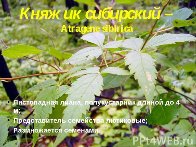 Княжик сибирский – Atragene sibirica Листопадная лиана, полукустарник длиной до 4 м; Представитель семейства лютиковые; Размножается семенами.