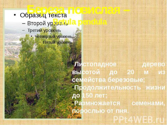 Береза повислая – Betula pendula Листопадное дерево высотой до 20 м из семейства березовые; Продолжительность жизни до 150 лет; Размножается семенами, порослью от пня.
