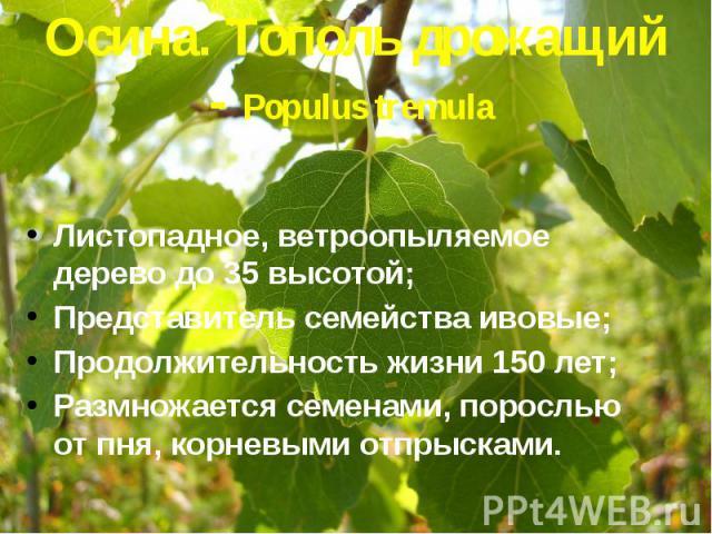 Осина. Тополь дрожащий - Populus tremula Листопадное, ветроопыляемое дерево до 35 высотой; Представитель семейства ивовые; Продолжительность жизни 150 лет; Размножается семенами, порослью от пня, корневыми отпрысками.