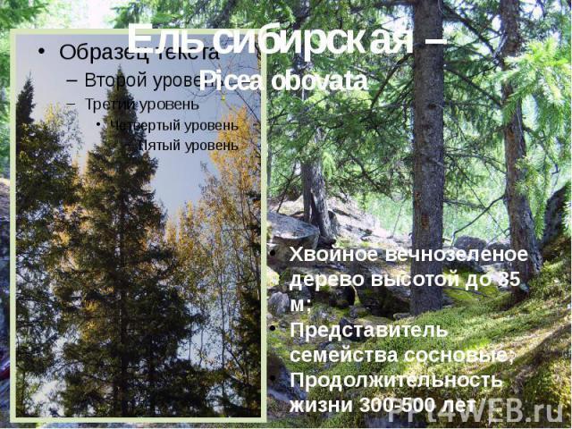 Ель сибирская – Picea obovata Хвойное вечнозеленое дерево высотой до 35 м; Представитель семейства сосновые; Продолжительность жизни 300-500 лет.