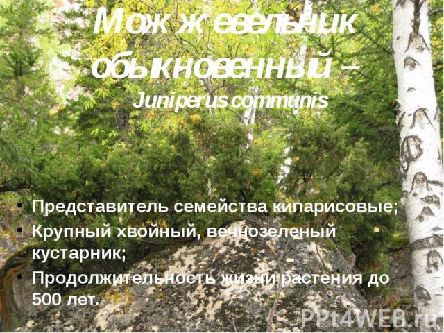 Можжевельник обыкновенный – Juniperus communis Представитель семейства кипарисовые; Крупный хвойный, вечнозеленый кустарник; Продолжительность жизни растения до 500 лет.