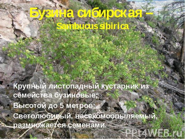 Бузина сибирская – Sambucus sibirica Крупный листопадный кустарник из семейства бузиновые; Высотой до 5 метров; Светолюбивый, насекомоопыляемый, размножается семенами.