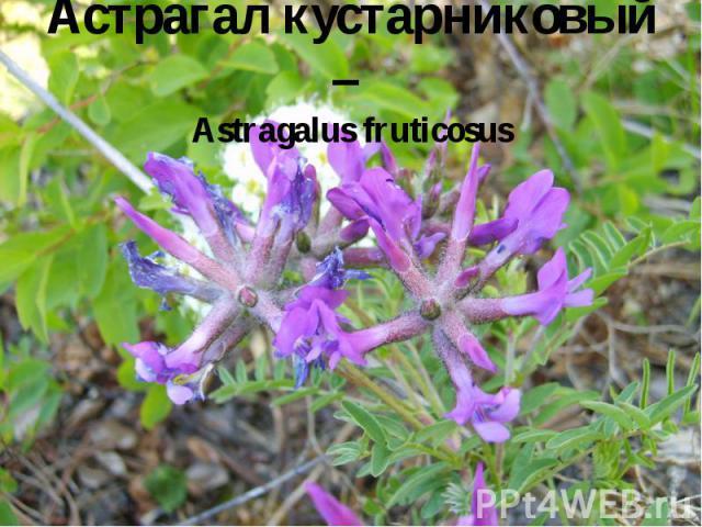 Астрагал кустарниковый – Astragalus fruticosus
