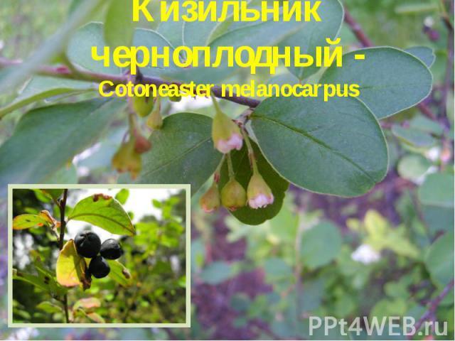 Кизильник черноплодный - Cotoneaster melanocarpus