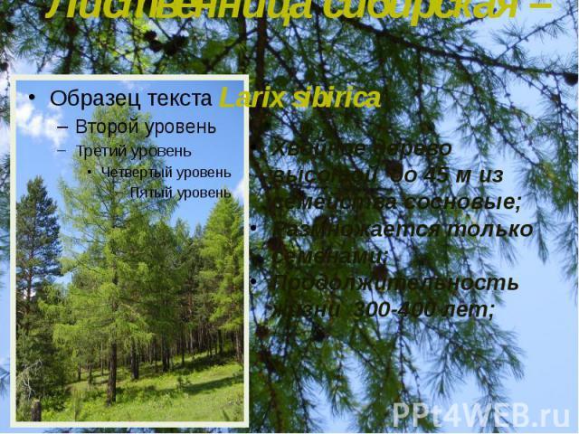 Лиственница сибирская – Larix sibirica Хвойное дерево высотой до 45 м из семейства сосновые; Размножается только семенами; Продолжительность жизни 300-400 лет;