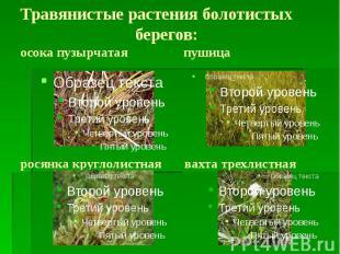 Травянистые растения болотистых берегов: осока пузырчатая пушица росянка круглол