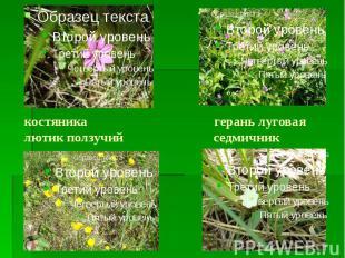 костяника герань луговая лютик ползучий седмичник