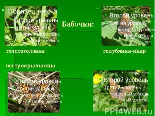 Бабочки: толстоголовка голубянка-икар пестрокрыльница