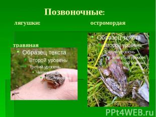 Позвоночные: лягушки: остромордая травяная