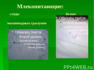 Млекопитающие: следы белки мышевидных грызунов