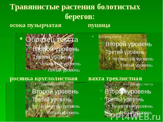 Травянистые растения болотистых берегов: осока пузырчатая пушица росянка круглолистная вахта трехлистная