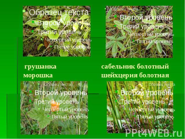 грушанка сабельник болотный морошка шейхцерия болотная