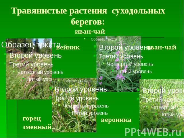 Травянистые растения суходольных берегов: иван-чай