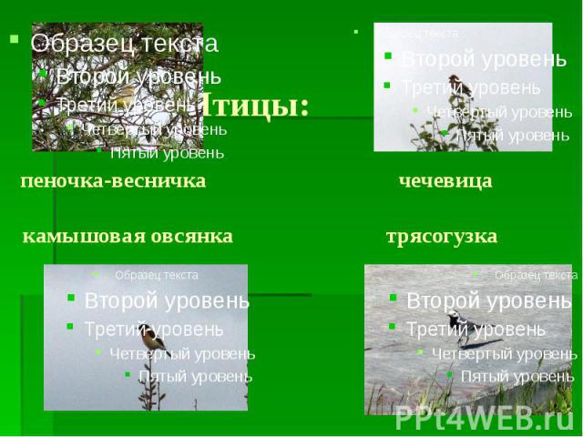 Птицы: пеночка-весничка чечевица камышовая овсянка трясогузка