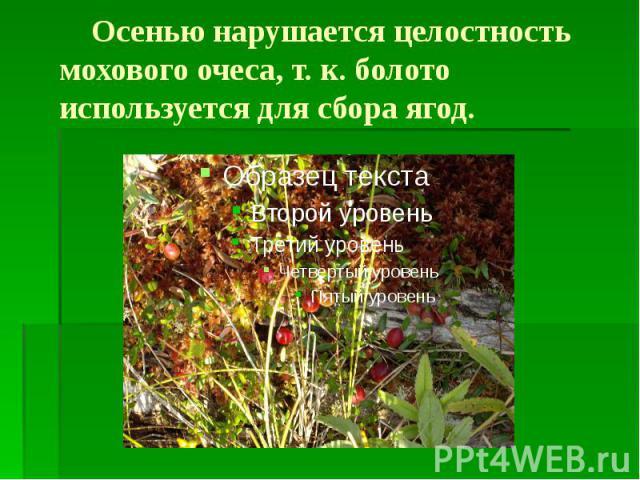 Осенью нарушается целостность мохового очеса, т. к. болото используется для сбора ягод.