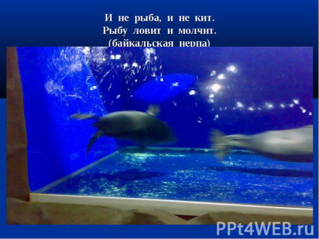 И не рыба, и не кит. Рыбу ловит и молчит. (байкальская нерпа)