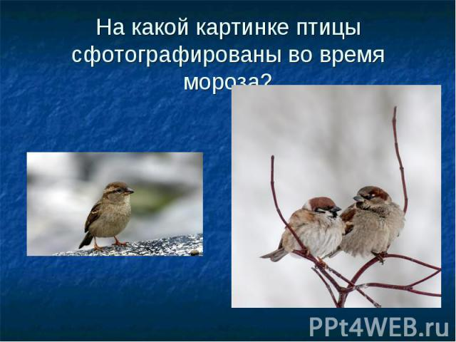 На какой картинке птицы сфотографированы во время мороза?