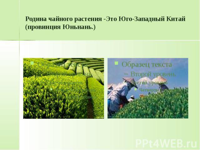 Родина чайного растения -Это Юго-Западный Китай (провинция Юньнань.)