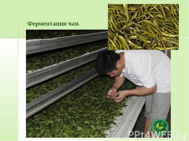 Ферментация чая.