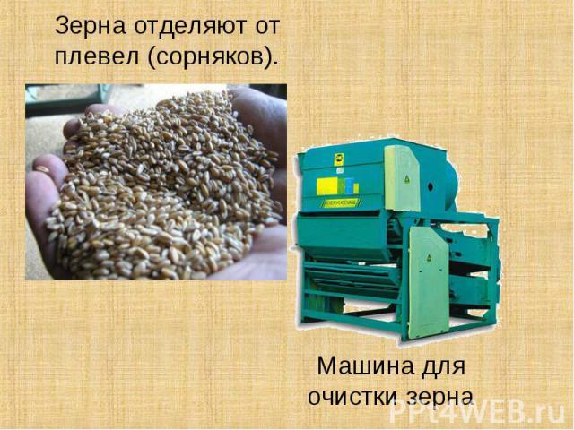 Зерна отделяют от плевел (сорняков).