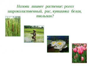 Назови лишнее растение: рогоз широколиственный, рис, кувшинка белая, тюльпан?