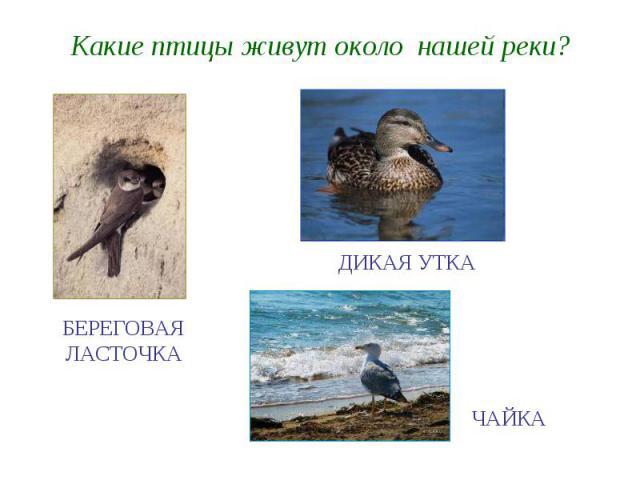 Какие птицы живут около нашей реки?