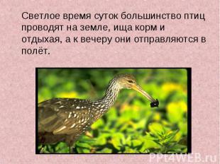 Светлое время суток большинство птиц проводят на земле, ища корм и отдыхая, а к
