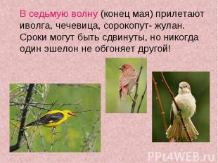 В седьмую волну (конец мая) прилетают иволга, чечевица, сорокопут- жулан. Сроки