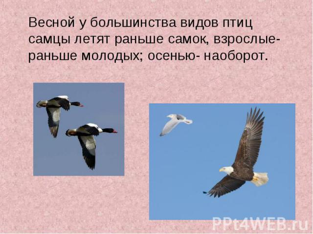 Весной у большинства видов птиц самцы летят раньше самок, взрослые- раньше молодых; осенью- наоборот. Весной у большинства видов птиц самцы летят раньше самок, взрослые- раньше молодых; осенью- наоборот.