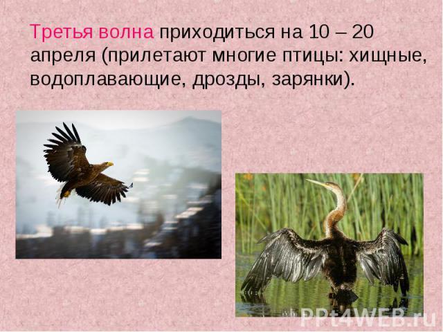 Третья волна приходиться на 10 – 20 апреля (прилетают многие птицы: хищные, водоплавающие, дрозды, зарянки). Третья волна приходиться на 10 – 20 апреля (прилетают многие птицы: хищные, водоплавающие, дрозды, зарянки).