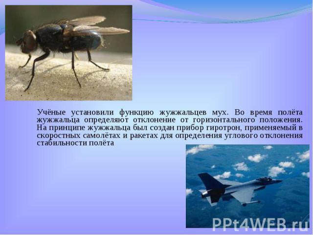 Учёные установили функцию жужжальцев мух. Во время полёта жужжальца определяют отклонение от горизонтального положения. На принципе жужжальца был создан прибор гиротрон, применяемый в скоростных самолётах и ракетах для определения углового отклонени…