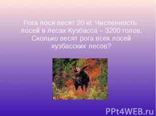 Рога лося весят 20 кг. Численность лосей в лесах Кузбасса – 3200 голов. Сколько