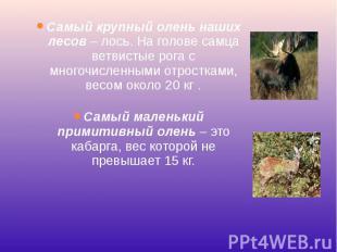 Самый крупный олень наших лесов– лось. На голове самца ветвистые рога с мн