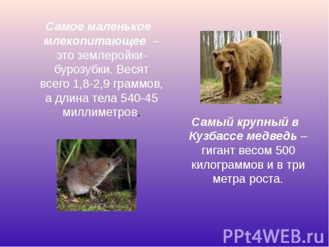 Самое маленькое млекопитающее – это землеройки-бурозубки. Весят всего 1,8-2,9 граммов, а длина тела 540-45 миллиметров. Самое маленькое млекопитающее – это землеройки-бурозубки. Весят всего 1,8-2,9 граммов, а длина тела 540-45 миллиметров.