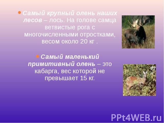 Самый крупный олень наших лесов– лось. На голове самца ветвистые рога с многочисленными отростками, весом около 20 кг . Самый крупный олень наших лесов– лось. На голове самца ветвистые рога с многочисленными отростками, весом около 20 кг…