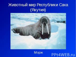 Животный мир Республики Саха (Якутия) Морж