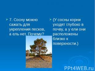 7. Сосну можно сажать для укрепления песков, а ель нет. Почему? 7. Сосну можно с