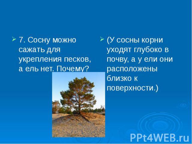 7. Сосну можно сажать для укрепления песков, а ель нет. Почему? 7. Сосну можно сажать для укрепления песков, а ель нет. Почему?