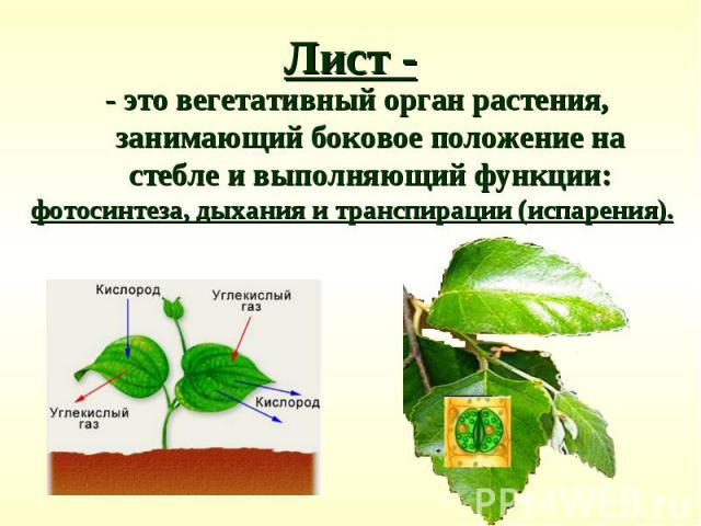 - это вегетативный орган растения, занимающий боковое положение на стебле и выполняющий функции: - это вегетативный орган растения, занимающий боковое положение на стебле и выполняющий функции: