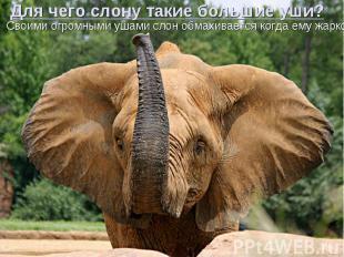 Для чего слону такие большие уши? Своими огромными ушами слон обмахивается когда