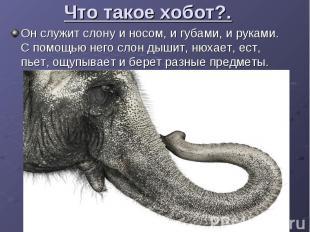 Что такое хобот?. Он служит слону и носом, и губами, и руками. С помощью него сл