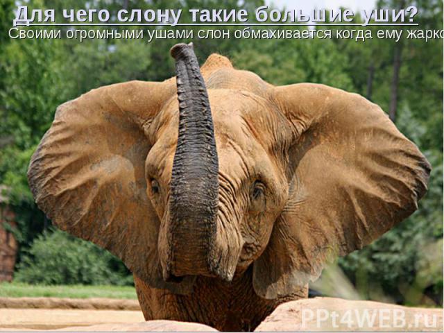Для чего слону такие большие уши? Своими огромными ушами слон обмахивается когда ему жарко.