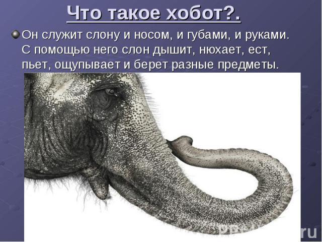 Что такое хобот?. Он служит слону и носом, и губами, и руками. С помощью него слон дышит, нюхает, ест, пьет, ощупывает и берет разные предметы.